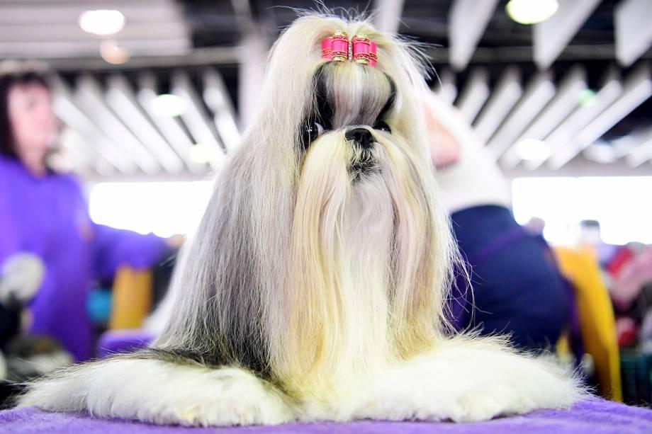 Madison, uma Shih Tzu, é penteada antes de participar do Westminster Kennel Club Dog Show, realizado em Nova York - 11/02/2019