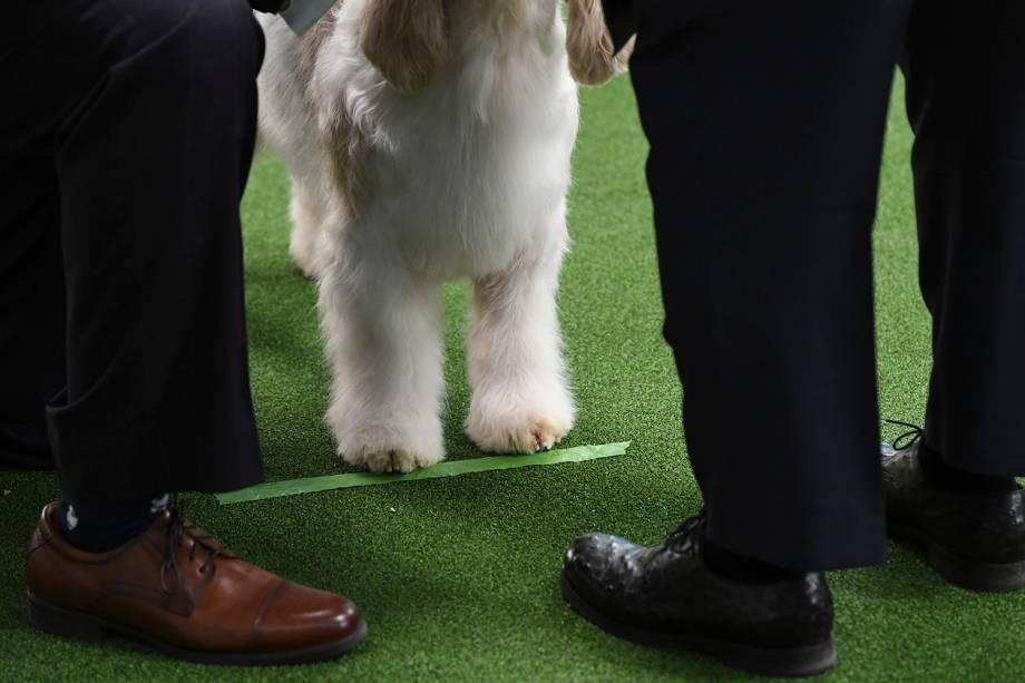 Basset Griffon da Vendeia é avaliado por juiz durante o Westminster Kennel Club Dog Show, realizado em Nova York - 11/02/2019