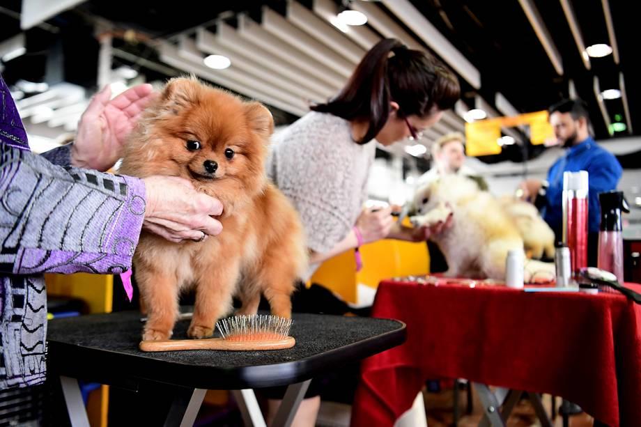 Eve, um Spitz Alemão, se prepara para a exposição de cães do Westminster Kennel Club Dog Show, em Nova York - 11/02/2019