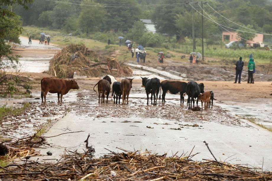 Vacas são vista em ponte bloqueada em Chimanimani, Zimbábue - 18/03/2019