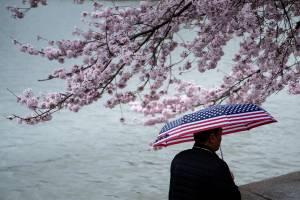 Homem caminha durante a chuva enquanto as cerejeiras florescem ao longo da Bacia das Maré no National Mall em Washington, Estados Unidos - 31/03/2019