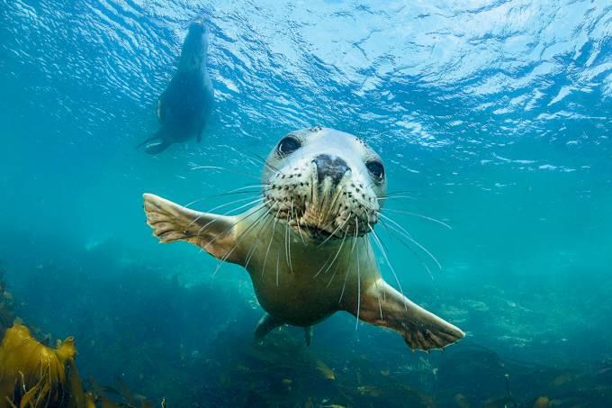 Foca-curiosa-en-el-mar-del-norte-se-acerca-a-la-cámara-del-buceador.jpg