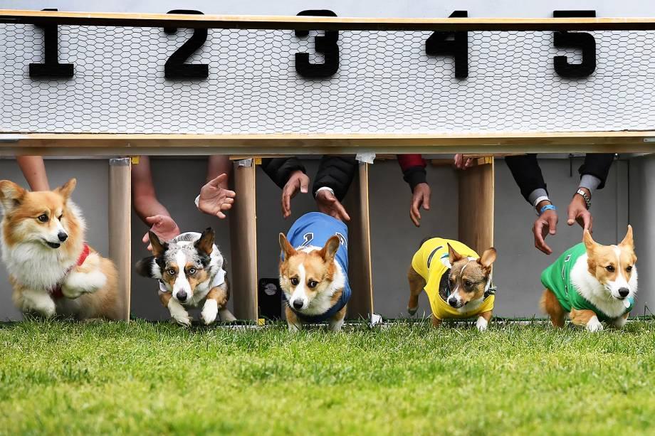 """Cães da raça corgi disputam corrida durante a  segunda edição do """"Corgi Nationals"""" - competição realizada na cidade de Arcadia, localizada no estado americano da Califórnia - 26/05/2019"""