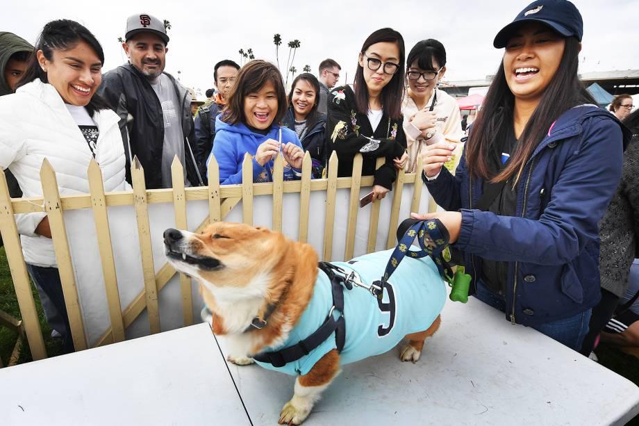 """O cão Dexter se prepara para corrida com sua dona, durante a segunda edição do """"Corgi Nationals"""" - competição realizada na cidade de Arcadia, localizada no estado americano da Califórnia - 26/05/2019"""