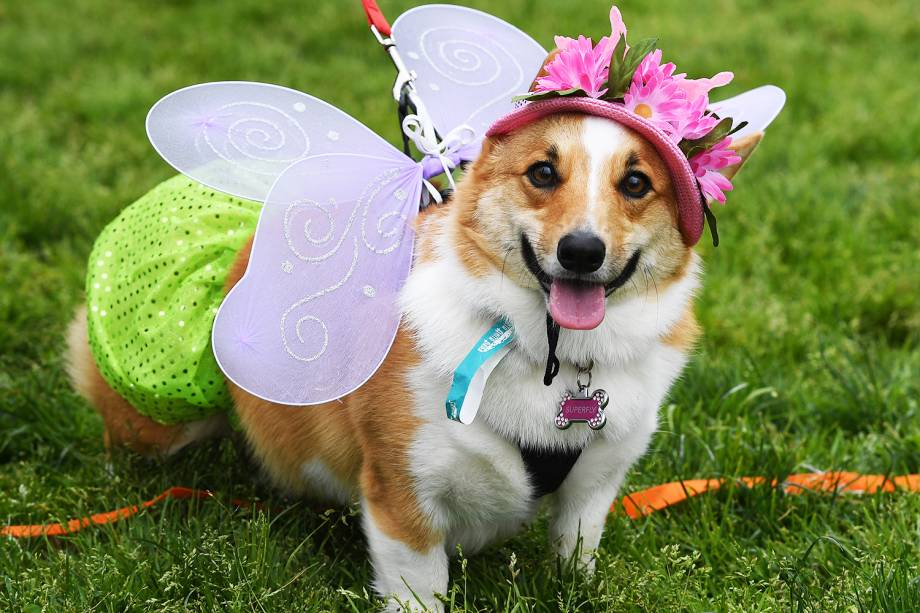"""O cão Superfly, da raça corgi, durante preparação para o """"Corgi Nationals"""" - competição realizada na cidade de Arcadia, localizada no estado americano da Califórnia - 26/05/2019"""