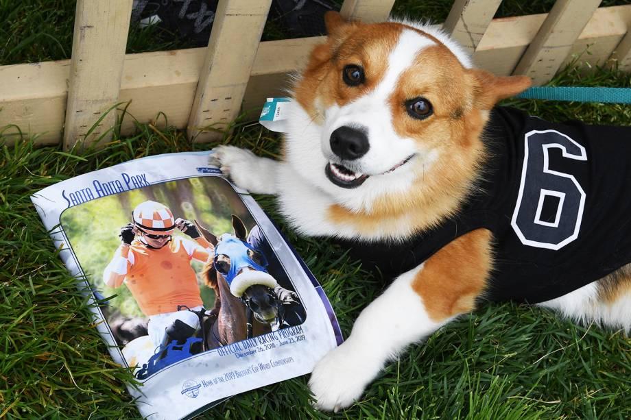 """O cão Malfuriom , da raça corgi, durante preparação para a segunda edição do """"Corgi Nationals"""" - competição realizada na cidade de Arcadia, localizada no estado americano da Califórnia - 26/05/2019"""