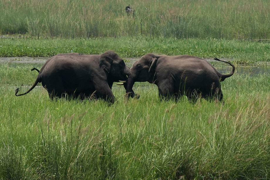 Elefantes selvagens disputam território em um pantanal perto da estação ferroviária Thakurkuchi nos arredores de Gauhati, Assam, na Índia
