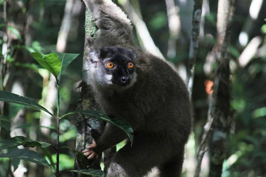 Lêmure fotografado no Parque Nacional Andasibe-Mantadia em Madagascar