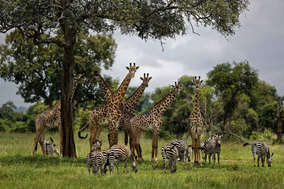 Girafas e zebras se reúnem sob a sombra de uma árvore no Parque Nacional de Mikumi, na Tanzânia