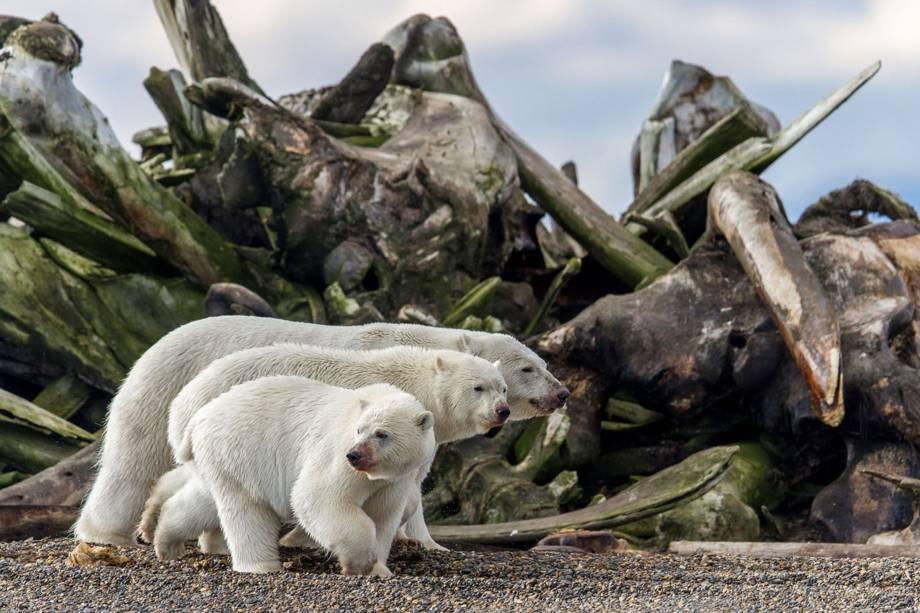 Imagem finalista na categoria 'Vida Selvagem Terrestre', mostra três ursos polares próximos de pilha de ossos de baleias ao longo da costa da Ilha de Barter, no norte do Alasca