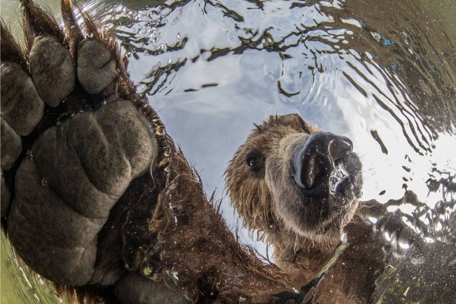 Imagem vencedora na categoria 'Animais Selvagens Terrestres', mostra urso polar marrom pescando salmões no rio Ozemaya, na Rússia