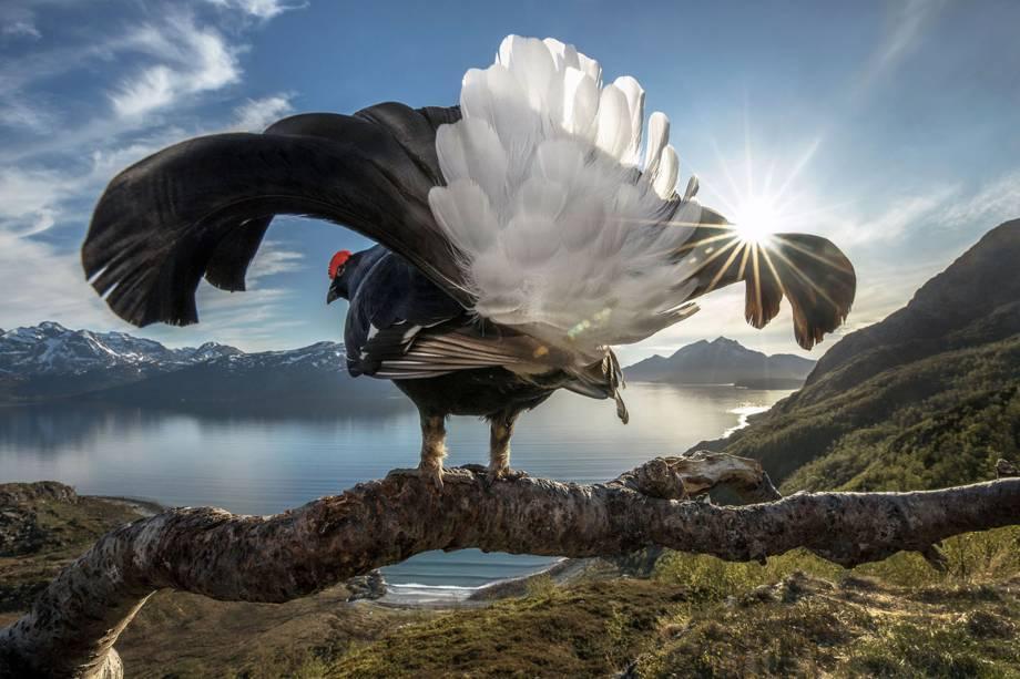Imagem vencedora na categoria 'Big Picture', mostra galo silvestre na costa norte da Noruega