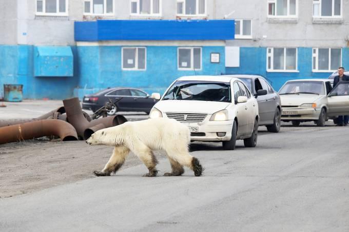 Urso polar em cidade russa