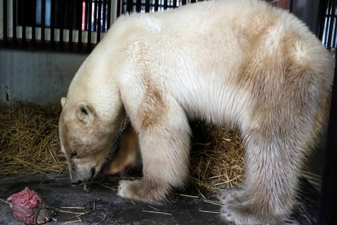 Ursa polar resgatada vai para zoológico na Rússia