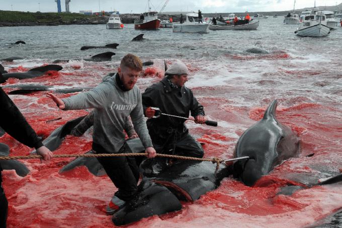 Caça de baleias nas Ilhas Faroe