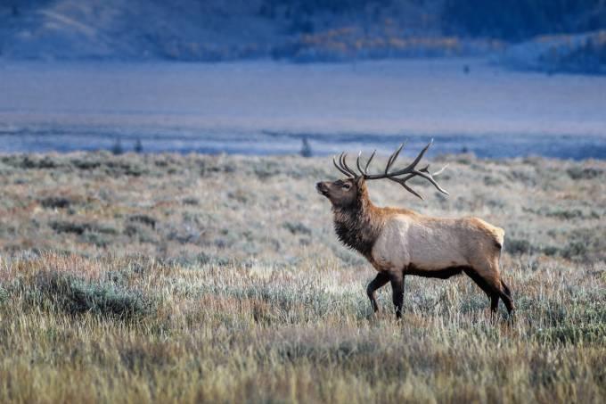 Bull elk in Grand Teton National Park, Wyoming