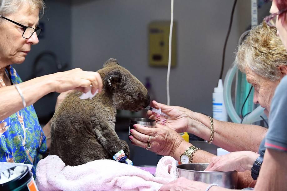 Um coala com queimaduras e desidratado é atendido por veterinários em um hospital especializado em sua espécie, Austrália - 30/10/2019
