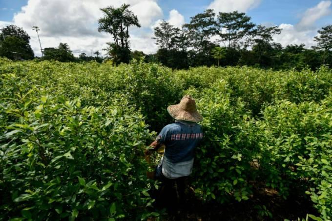Cultivo de coca na Colômbia