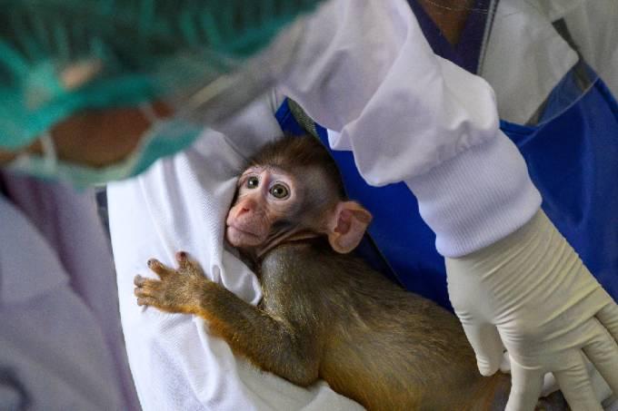 Cientistas examinam macaco em pesquisa sobre Covid-19 na Tailândia
