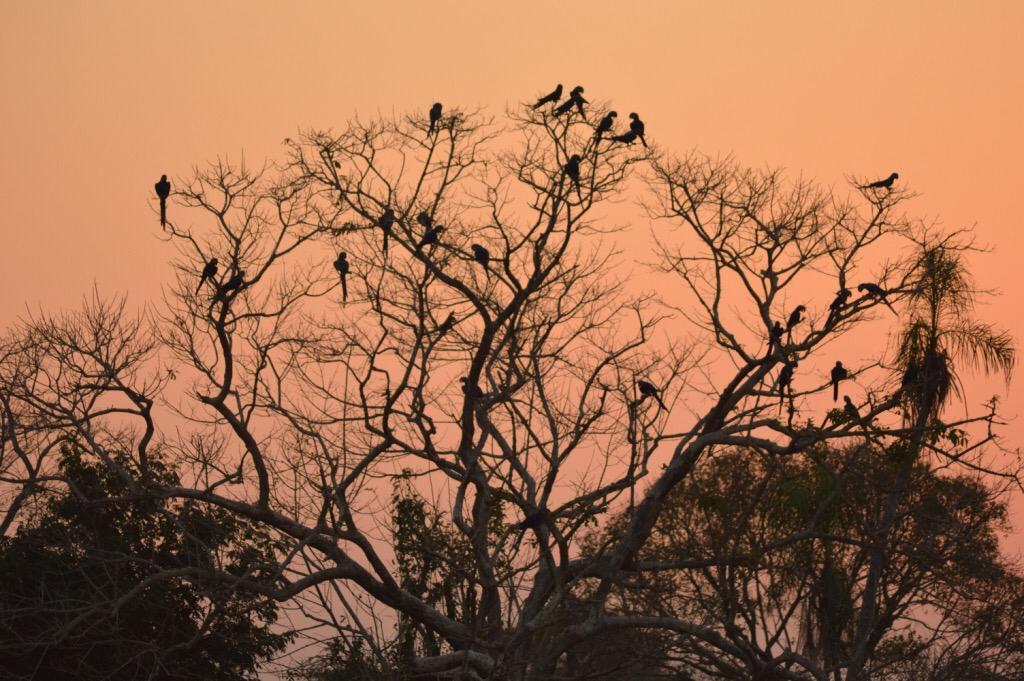 A saga para proteger um santuário de araras-azuis do fogo no Pantanal