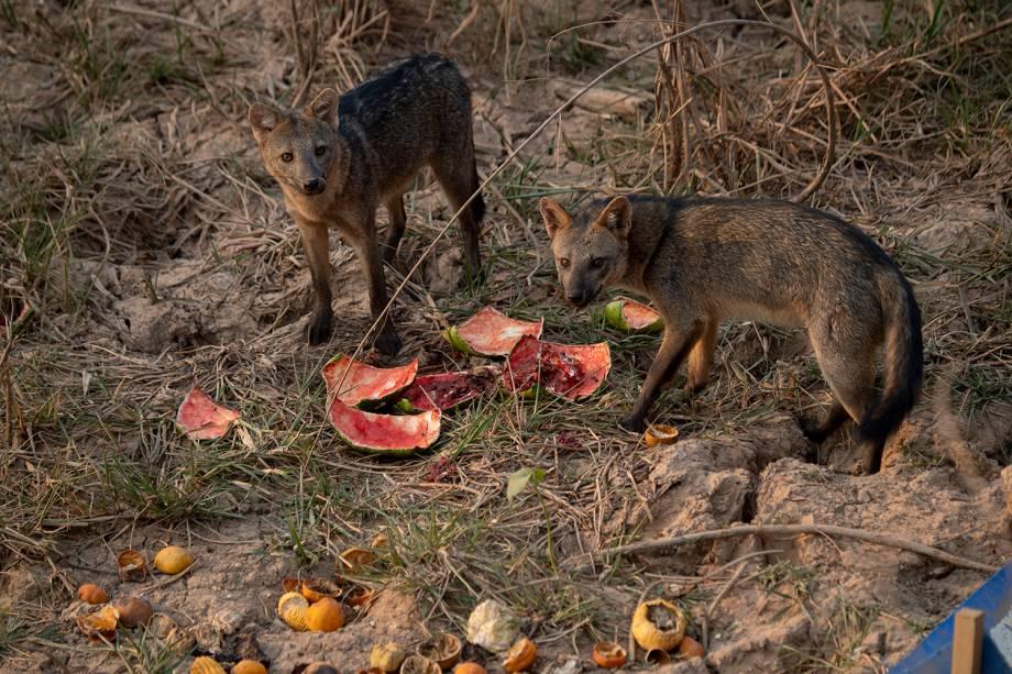 RAPOZAS A busca desesperada por comida à margem da Transpantaneira