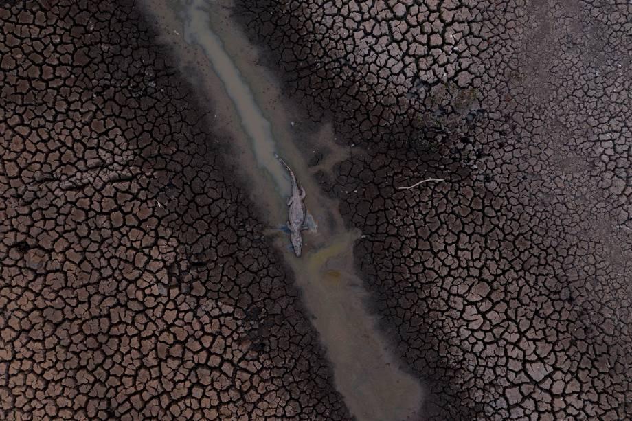 JACARÉ-DO-PANTANAL Os répteis foram tragicamente atingidos pela temporada extensa de fogo