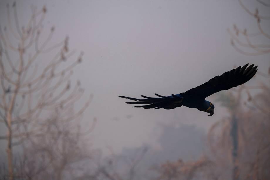 ARARA-AZUL O pássaro, que já chegou perto da extinção, mas teve sua população recuperada, sobrevoa a Transpantaneira em chamas