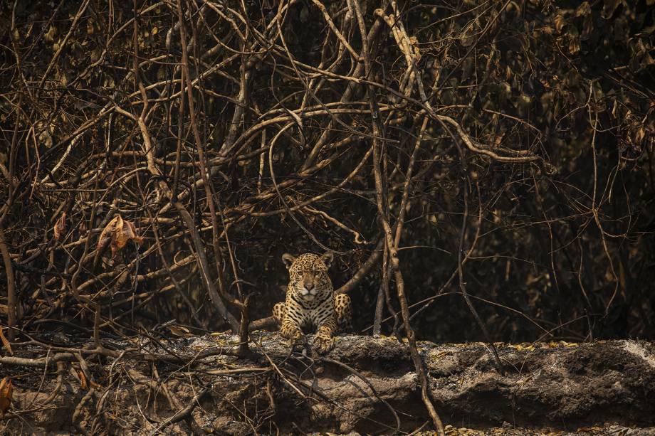 ONÇA-PINTADA Felino descansa em área queimada às margens do rio Três Irmãos, no Parque Estadual Encontro das Águas, próximo ao Porto Jofre