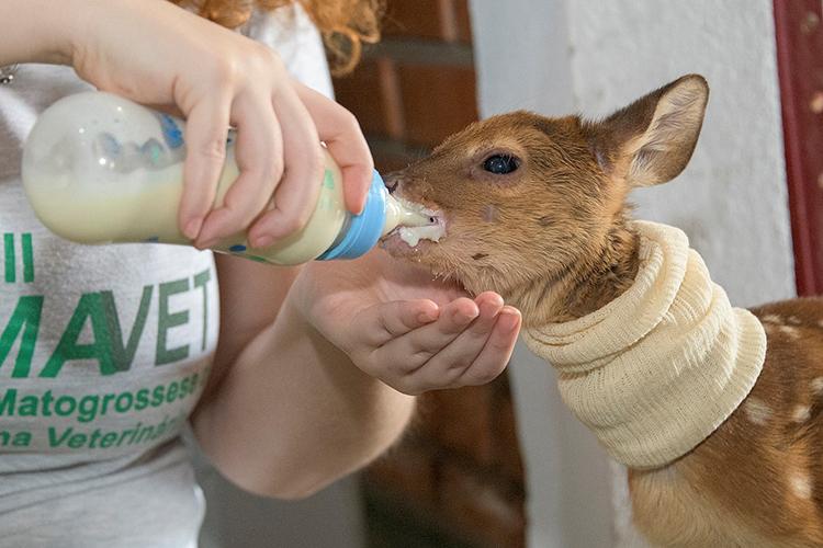 VEADO-CAMPEIRO Médicos veterinários alimentam o animal intoxicado pela fumaça na região de Poconé
