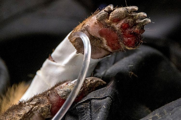 SOCORRO Biólogos e voluntários socorrem animais feridos em Poconé