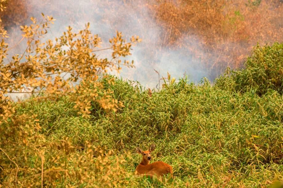 VEADO-CAMPEIRO Tentativa de escapar do fogo e da fumaça. A espécie é uma das mais atingidas pelas queimadas, que provocam destruição do habitat natural