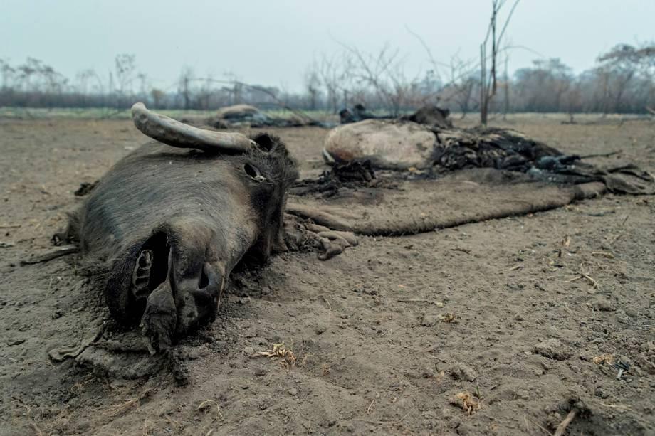 PORTO JOFRE Cabeça de um animal queimada