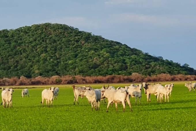 Foto Boi Agro Global