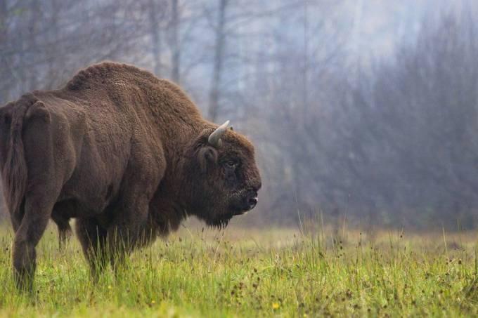 bisão