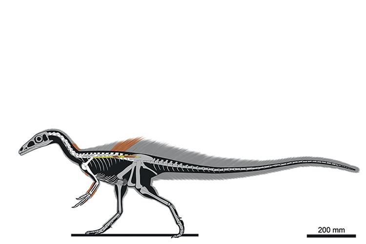 PEQUENO PREDADOR- O Ubirajara teria 140 centímetros da cabeça à ponta da cauda e 35 centímetros de altura: peru encorpado -