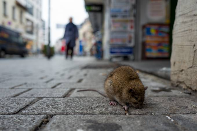 Rat On Cobbled Street In City