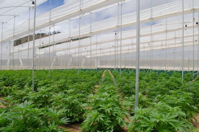 Cultivo de cannabis na Colômbia