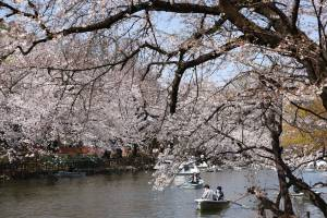 TOKYO, JAPAN - 2021/03/26: Visitors of Inokashira Park enjoy boating during Cherry blossom viewing (Hanami) season marked by Covid-19 pandemic. Hanami (Japanese custom for viewing the beauty of flowers) picnics have been prohibited inside Inokashira park as an effort to curb the spread of the Covid19 (coronavirus) disease. (Photo by Stanislav Kogiku/SOPA Images/LightRocket via Getty Images)