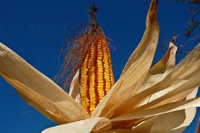 Detail of corn cob in the field, Corn plantation, Minas