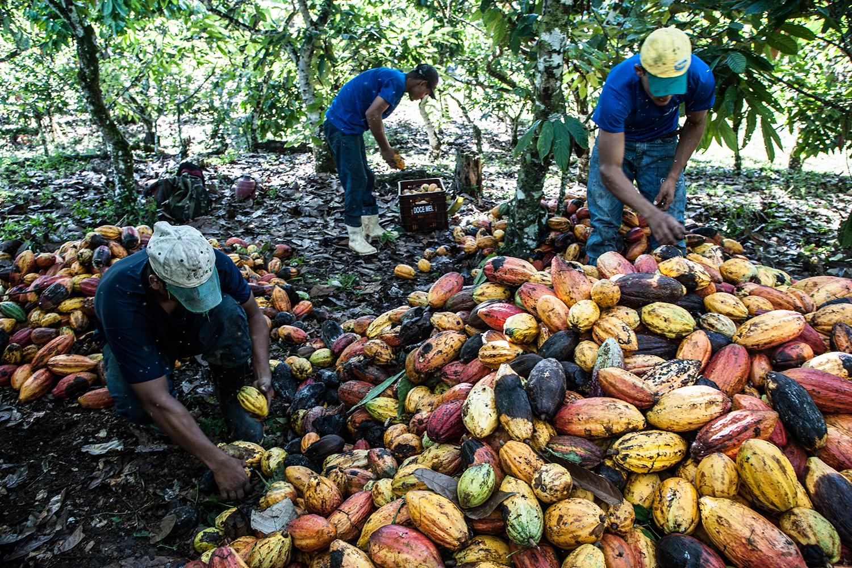 TRABALHADORES EM PLANTAÇÃO DE CACAU NA BAHIA -evolução do conceito de produção e de negócio sustentável -