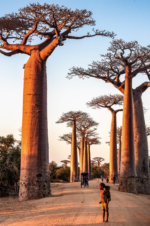 GIGANTES - Baobás em Madagáscar: raízes que se comunicam -