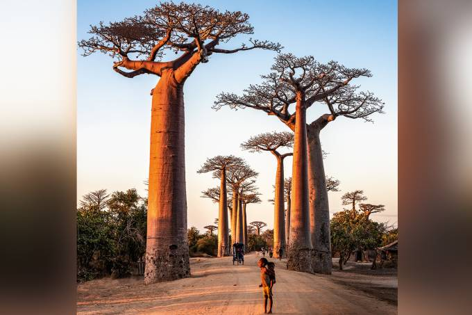he Avenue of the Baobabs (Alley of the Baobabs), between Morondava and Beloni, Menabe region of Western Madagascar