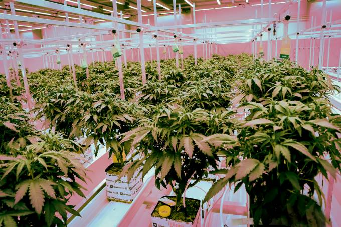 Plantation for cannabis medicinal plants