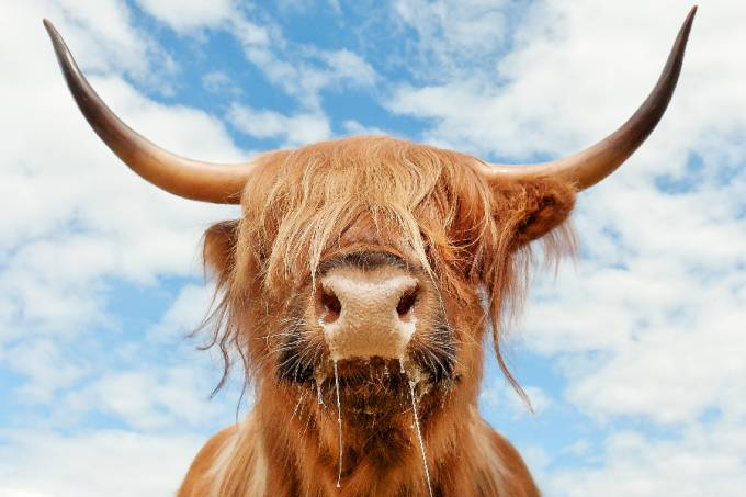Adult Highland Cattle portrait