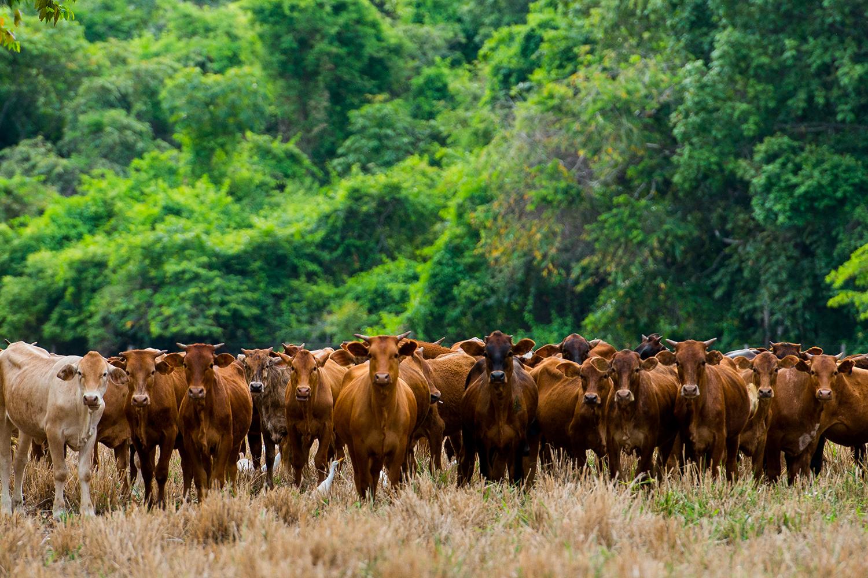 CRIAÇÃO DE GADO NA AMAZÔNIA -busca por modelos sustentáveis de produção -