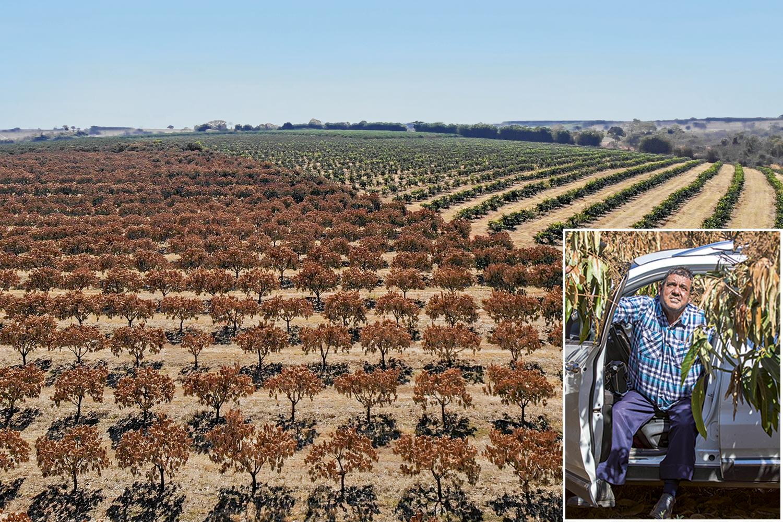 """OPERAÇÃO SALVAMENTO - No pontilhado de propriedades rurais no Noroeste paulista, a combinação da secura comas geadas do inverno castigou plantações como as de Carlos Jacinto, 61 anos, que perdeu quase 5000 pés de manga e tangerina. Para suavizar o prejuízo, na casa de 200000 reais, ele investiu na irrigação de parte do terreno. """"Salvei o que foi possível"""", explica. -"""