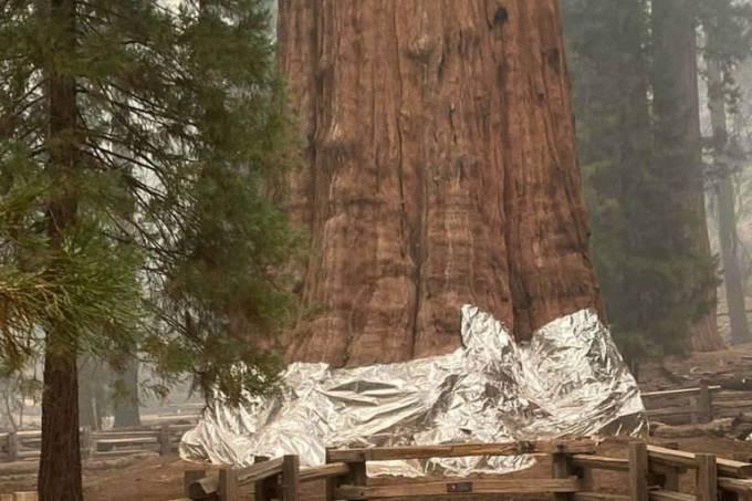 Bombeiros cobrem maior árvore do mundo com papel alumínio para tentar salvá-la de incêndios na Califórnia